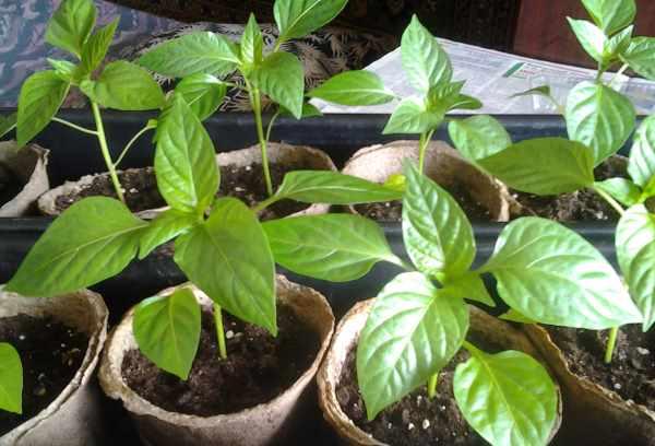 Когда лучше высаживать рассаду перца в открытый грунт?