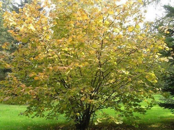 Лещина для борьбы с различными заболеваниями: полезные свойства и противопоказания растения