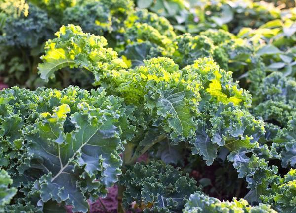 Капуста кале. выращивание, уход и полезные свойства