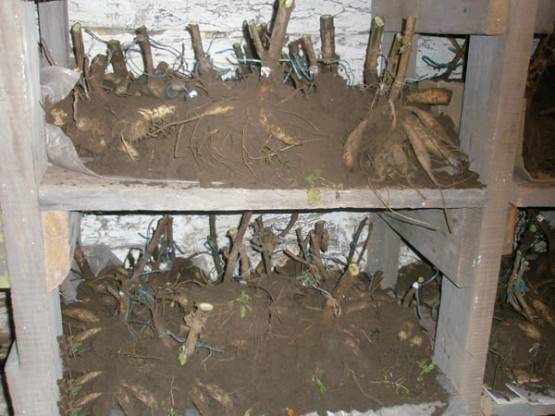 Георгины можно ли хранить в холодильнике. как хранить георгины зимой