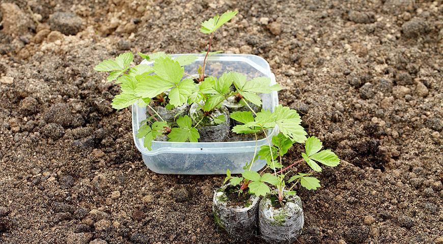 Выращиваем клубнику из семян