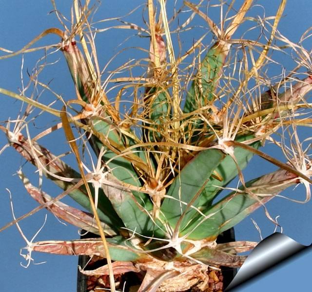 Как посадить кактус в домашних условиях, чтобы получить ожидаемый результат?
