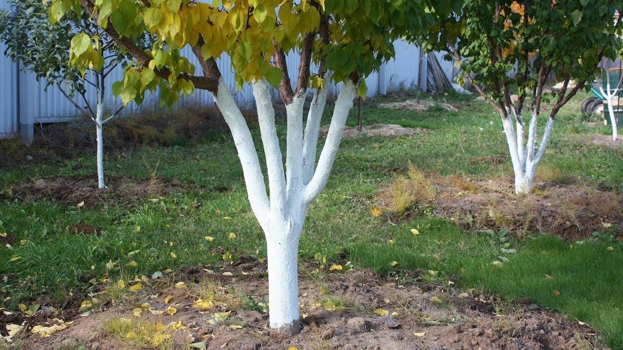 Побелка деревьев: сроки, эффективность и состав побелки