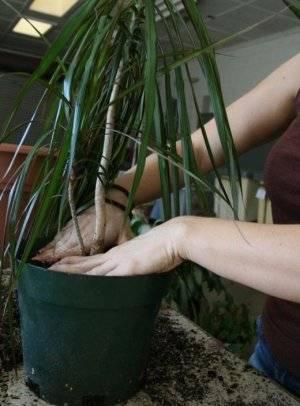 Обрезка и размножение драцены маргинаты в домашних условиях.