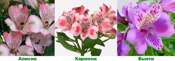 Альстромерия посадка и уход в открытом грунте выращивание из семян на рассаду фото цветов
