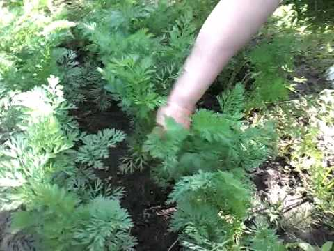 Прорывание моркови на грядке. чем, когда и как проредить ростки корнеплода?