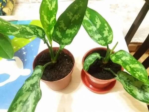 Выращиваем дома пестролистную аглаонему: особенности посадки растения