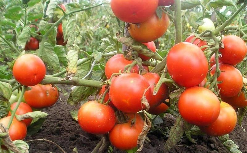 Сорта помидоров устойчивые к фитофторозу