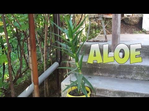 Способы размножения алоэ в домашних условиях