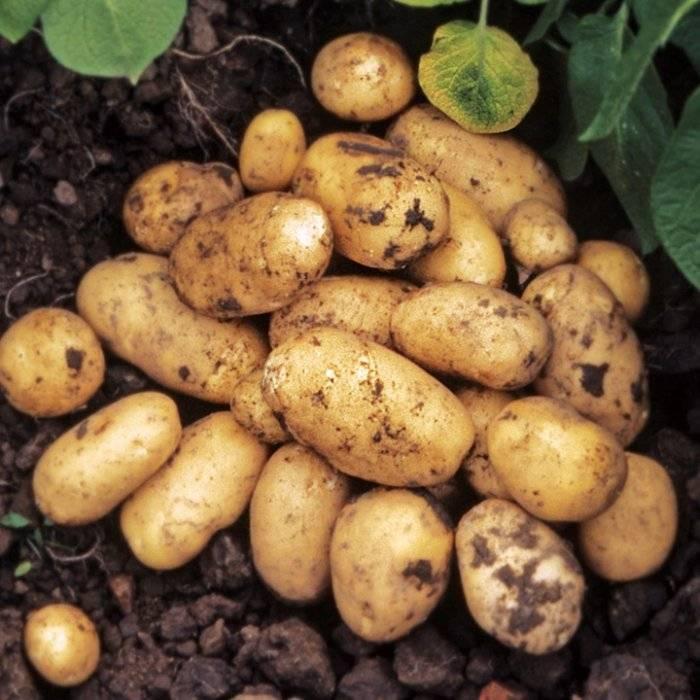 Картофель каратоп: характеристика и описание сорта, выращивание с фото