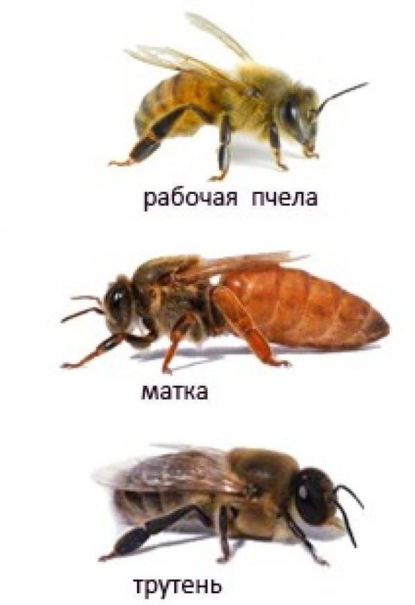 Причины роения пчел и способы предупреждения (видео)