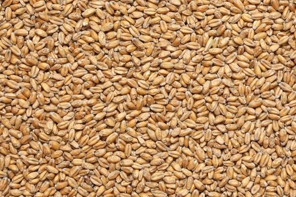 Пророщенная пшеница: польза и вред уникального продукта, правильное приготовление и применение
