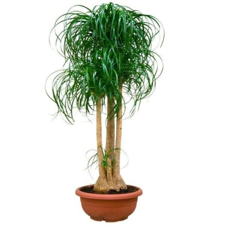 Экзотическое растение бокарнея — нолина или бутылочная пальма