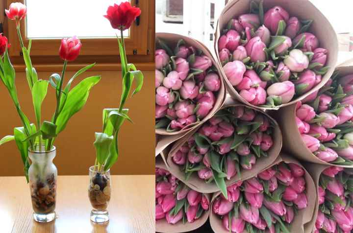 Выгонка тюльпанов к 8 марта и новому году