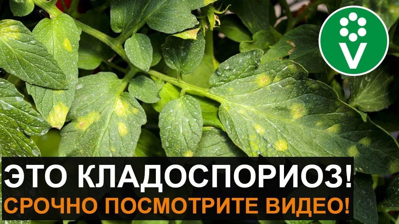 Болезни рассады помидоров: предотвращаем и лечим