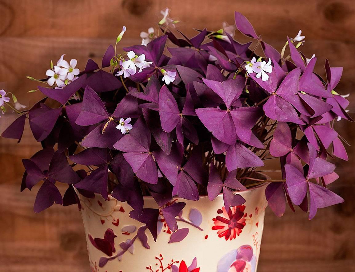 Кислица (оксалис): особенности ухода за цветком-бабочкой в домашних условиях