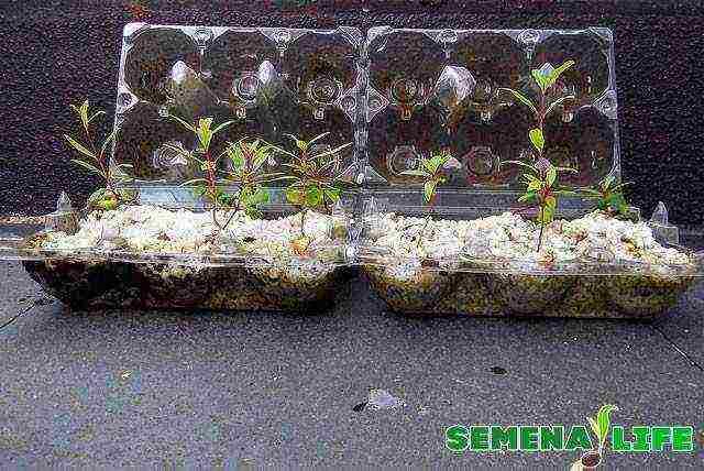 Белая акация: посадка, уход, выращивание от саженца до дерева
