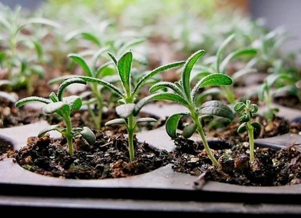 Колокольчик персиколистный: уход, посадка, выращивание