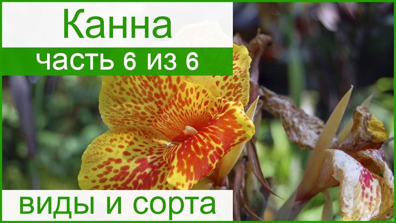 Каланхоэ - сохнут, желтеют, опадают листья. почему? что делать?