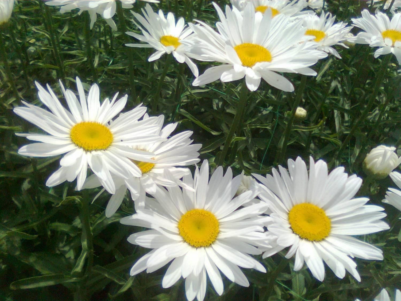 Ромашка садовая - крупный многолетний цветок