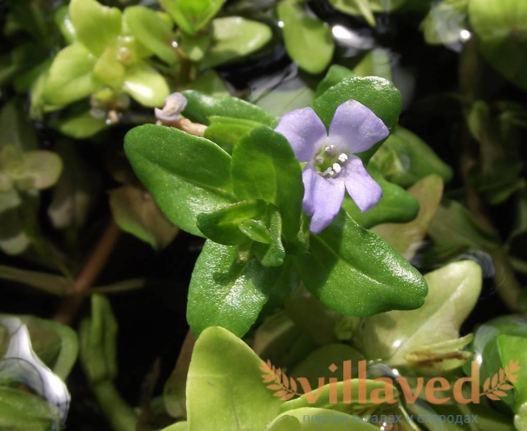 Изучаем выращивание бакопы – нарядного и неприхотливого цветущего многолетника для сада, дома и аквариума