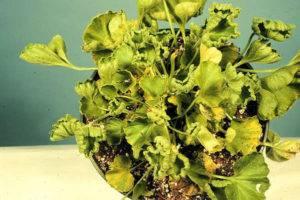 Почему желтеют листья у герани – чем подкормить