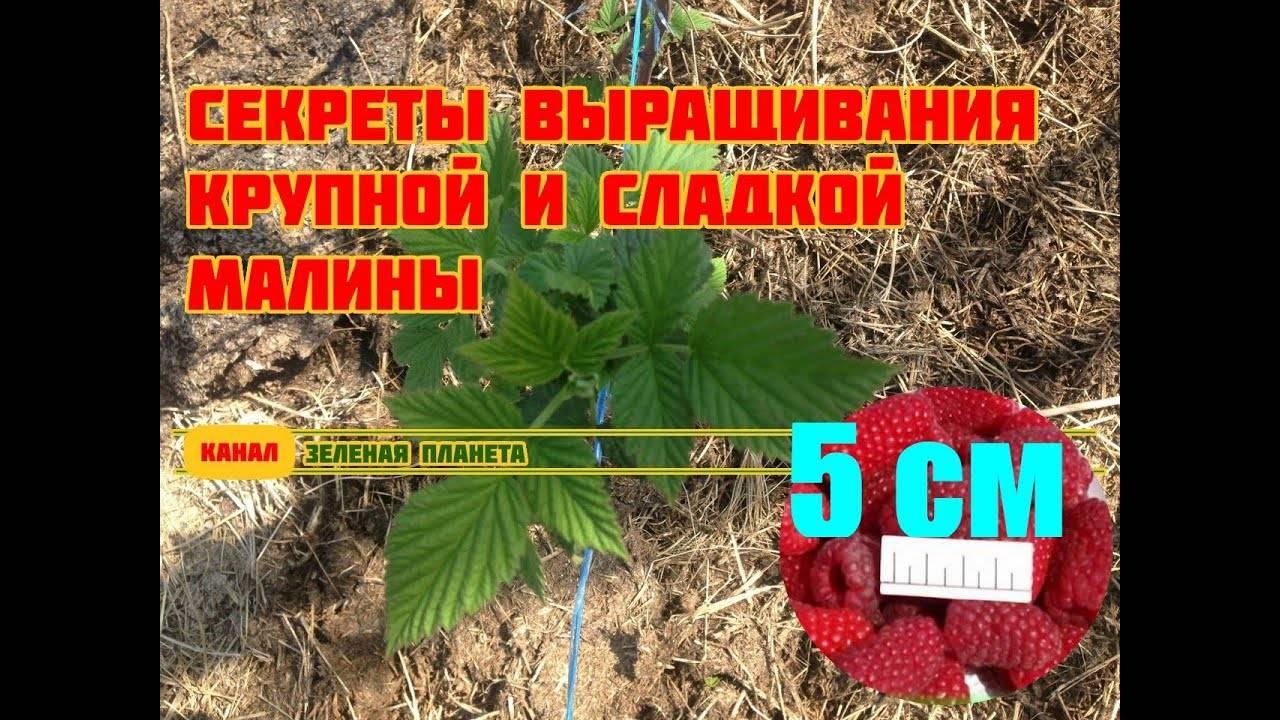 Двойная обрезка при выращивании кустов малины — как увеличить урожайность по методу александра соболева