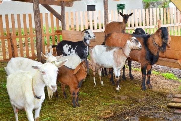 Разведение коз в домашних условиях для начинающих