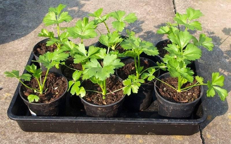 Как вырастить сельдерей корневой в открытом грунте