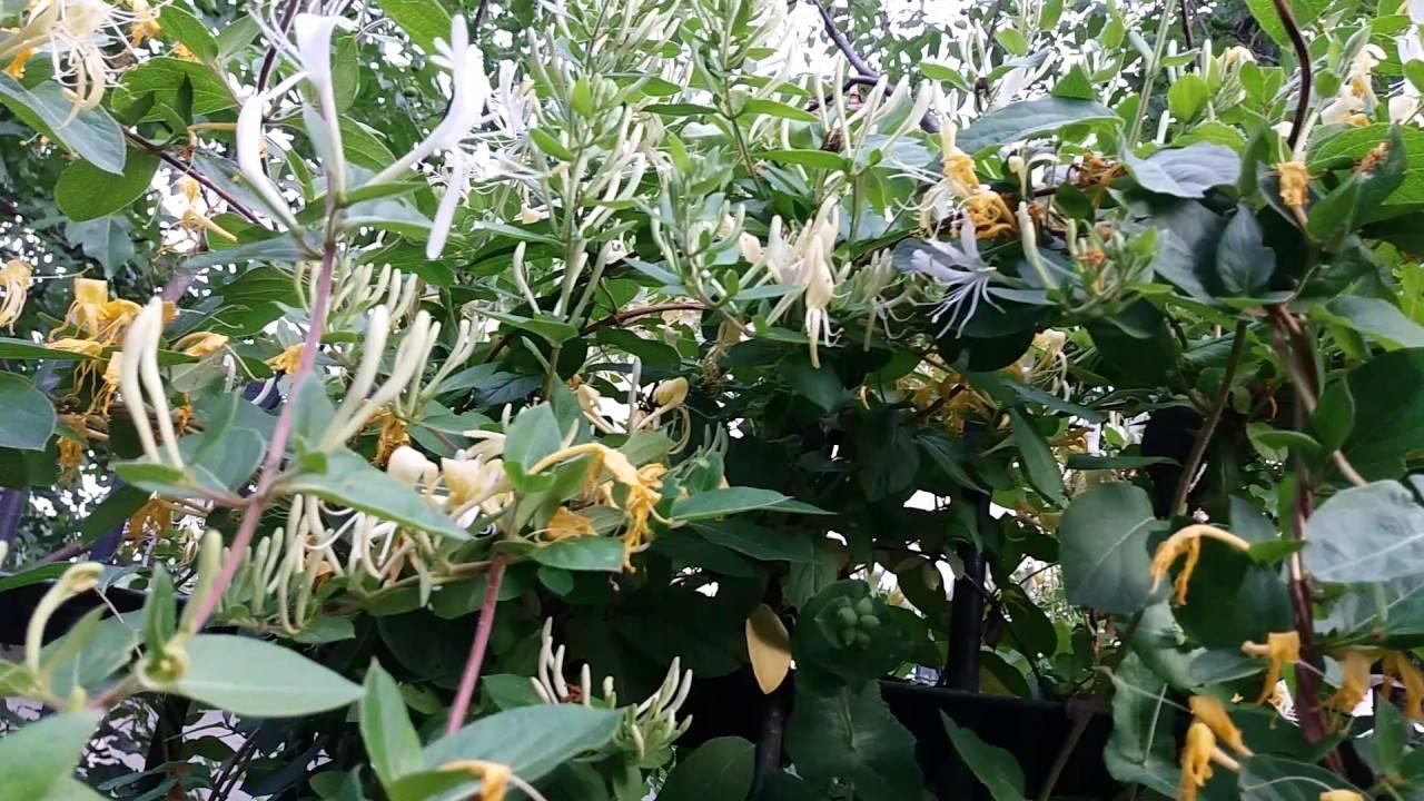 Выберите для своего сада ароматную лиану жимолость каприфоль
