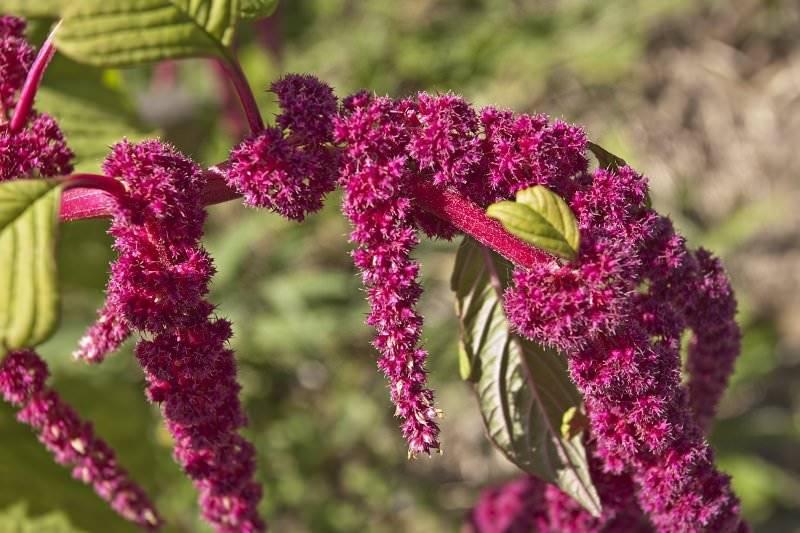 Амарант хвостатый, советы по выращиванию из семян
