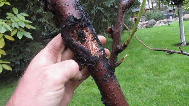 Курчавость листьев растений, как лечить