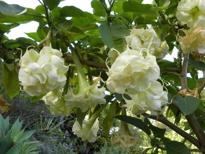 Бругмансия — когда зацветает цветок