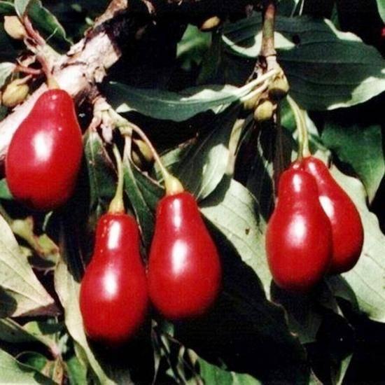 Актинидия коломикта: польза и рецепты применения