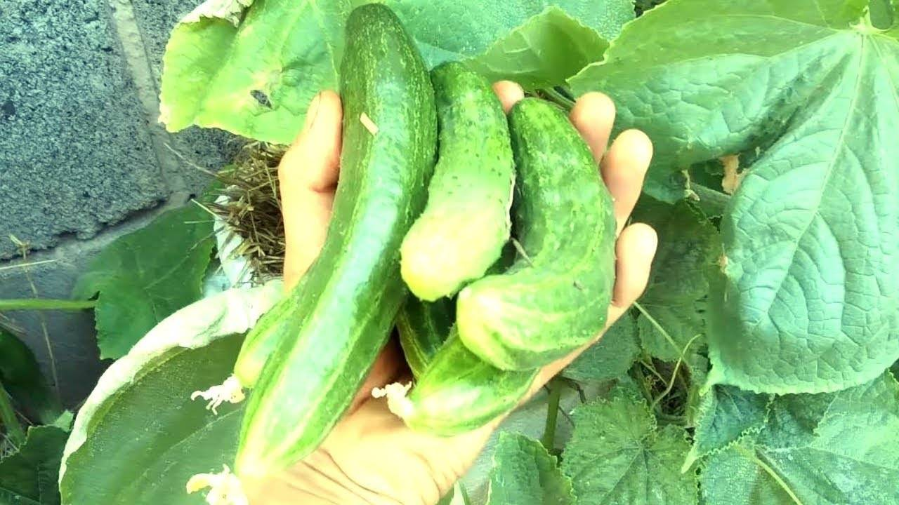 Выращивание огурцов в мешках: преимуществ и недостатки