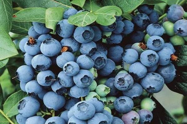 Голубика — сорта, посадка и уход