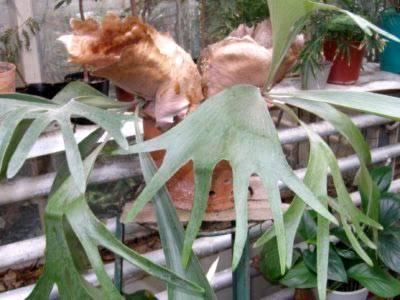 Виды платицериума для дома — ангольский, большой, двувильчатый, хилла, видео