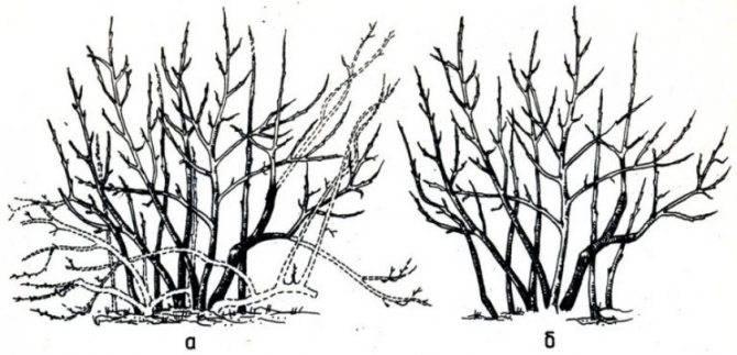 Обрезка голубики: пошаговая инструкция, зачем обрезать, схема