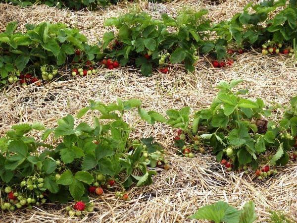 Слизней на даче победим урожай свой сохраним!