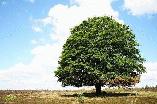 Породы быстрорастущих деревьев