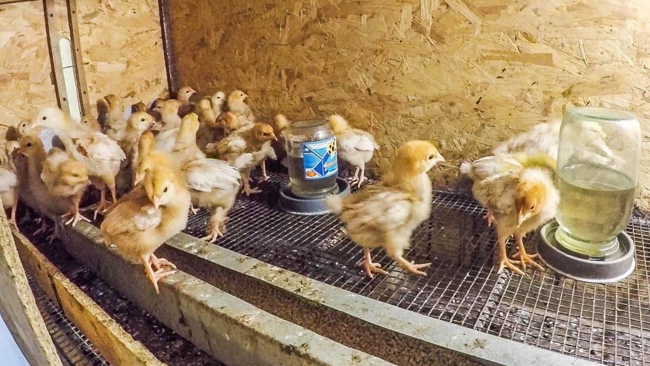 Лампы для обогрева цыплят