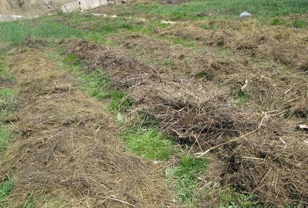 Советы от опытных огородников: 2 способа выращивания картофеля под соломой