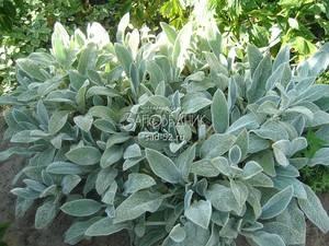 Стахис: описание и уход за растением