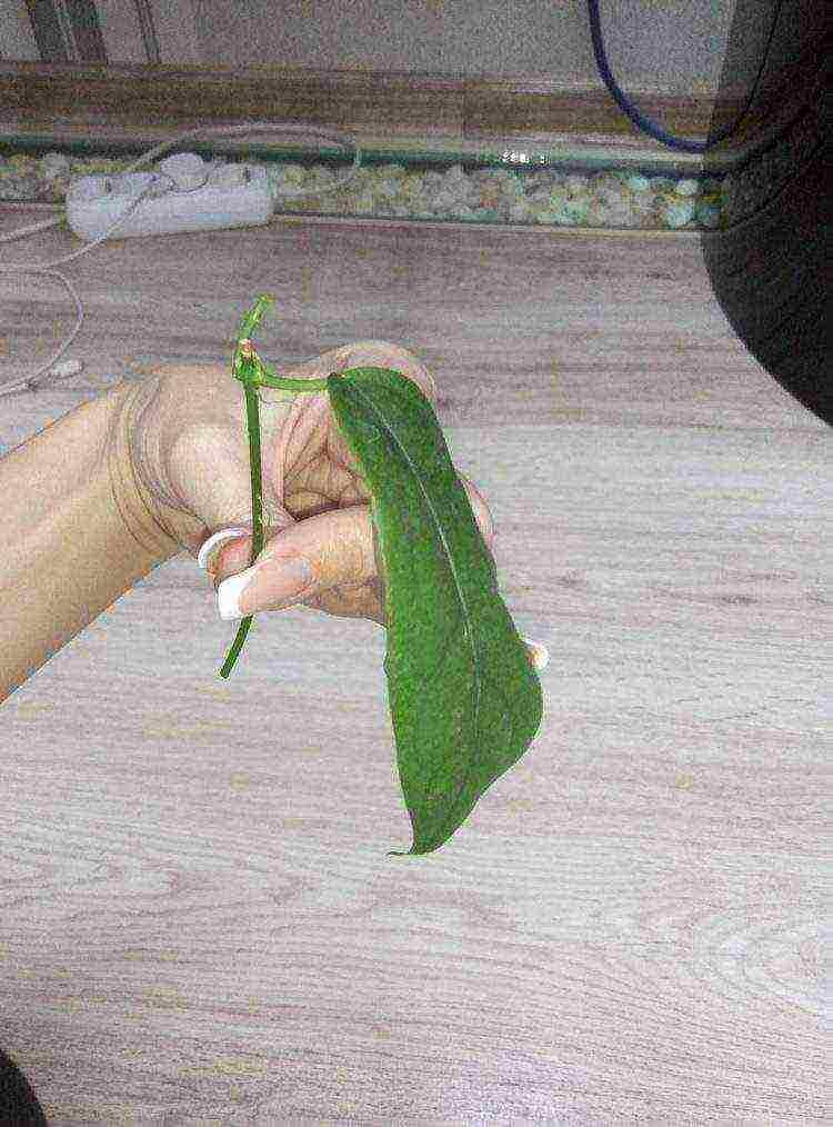 Черенкование комнатных растений в домашних условиях