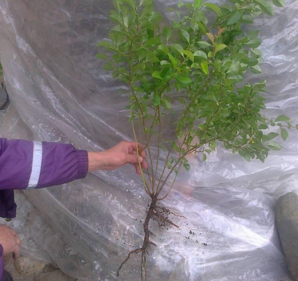 Выращивание айвы: советы садоводам