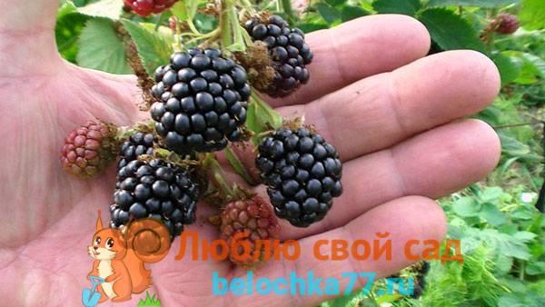 Фото и описание садового сорта ежевики торнфри