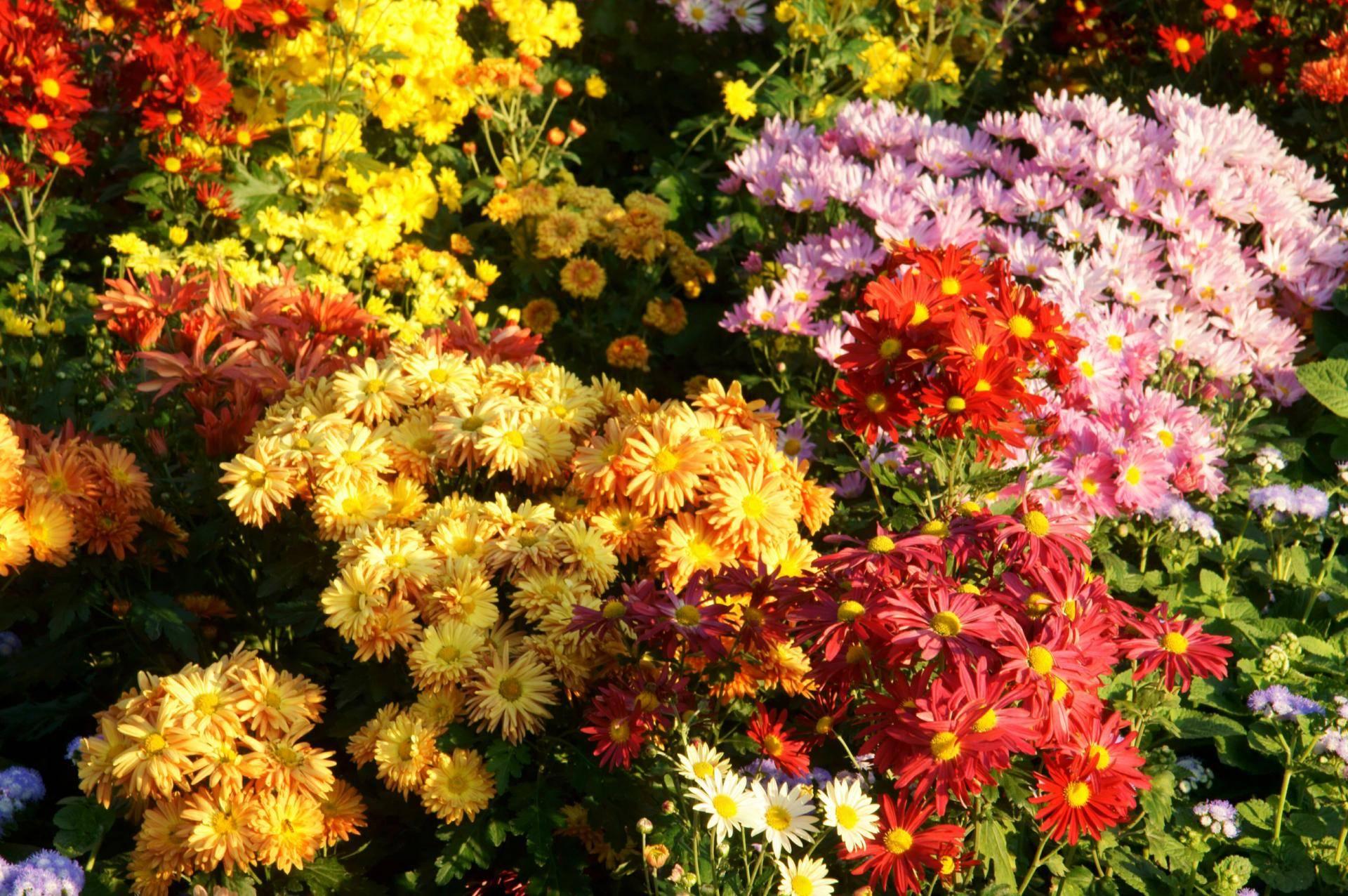 Как посадить и укоренить хризантему из букета?