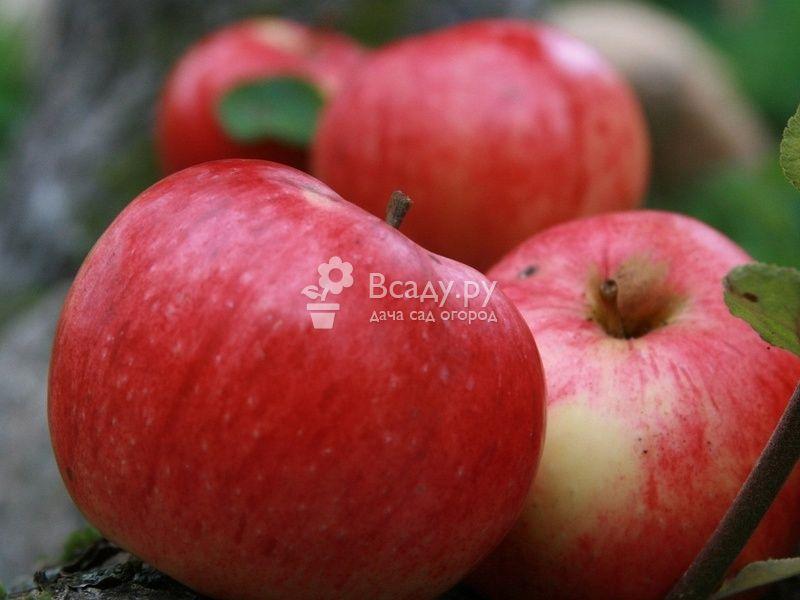 Лучшие сорта плодовых культур для холодных регионов