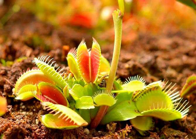 Лучшие комнатные хищные растения