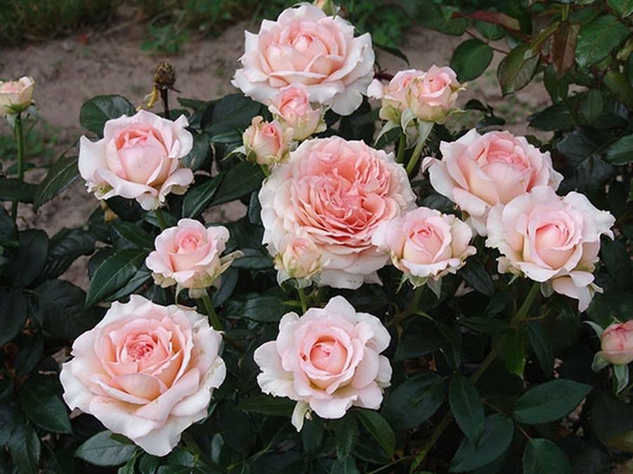 Правильная техника посадки роз в открытый грунт весной